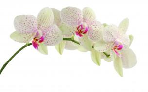 орхидея, фаленопсис