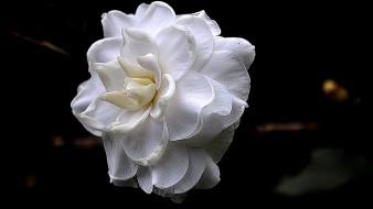 роза, белая, цветок