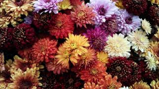 цветы, хризантемы, разноцветные, много