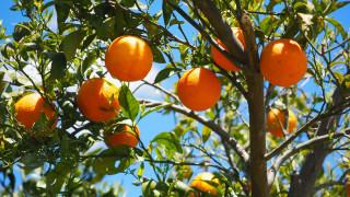 природа, плоды, апельсины