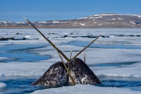 животные, нарвалы, лед, море