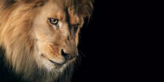 животные, львы, лев, голова
