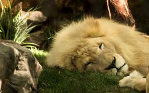 обои для рабочего стола 1921x1200 животные, львы, царь, зверей, грива