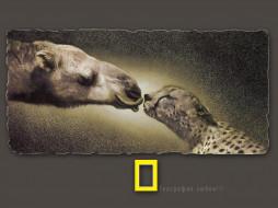 рисованные, животные, верблюд, гепард