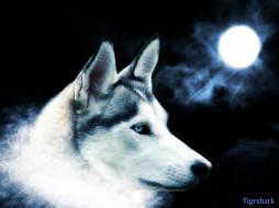 рисованные, животные, волки