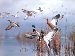 рисованные, животные, птицы, утки