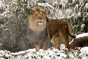 обои для рабочего стола 1800x1200 животные, львы, снег, грива, пар, холод