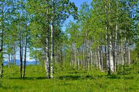 природа, деревья, чаща, берёзы