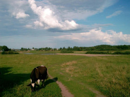 коровка, на, лугу, животные, коровы, буйволы