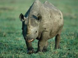 носорог, животные, носороги