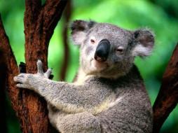 коала, животные, коалы