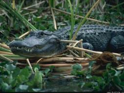 крокодил, животные, крокодилы