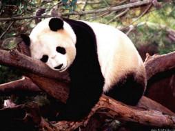 панда, животные, панды