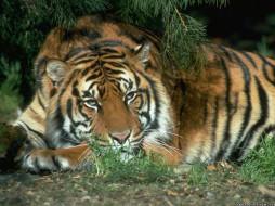 тигр, животные, тигры