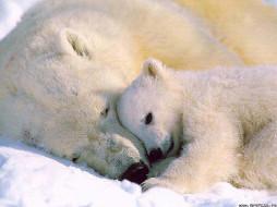 медведи, животные