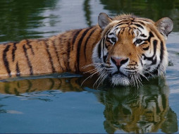 животные, тигры