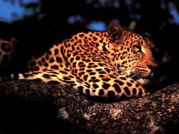 животные, леопарды, отдых, дерево, пятнистая, кошка, леопард