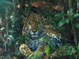 животные, Ягуары