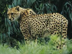 животные, гепарды