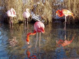 розовый, фламенго, животные, фламинго