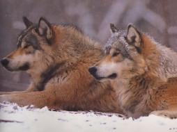 животные, волки