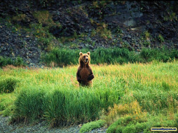 один, поле, воин, животные, медведи