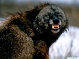 отстань, то, укушу, животные, волки