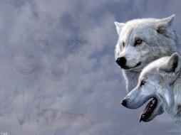животные, волки, белые, полярные, пара
