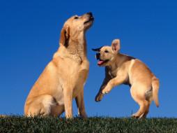 playing, for, mom, yellow, labradors, животные, собаки