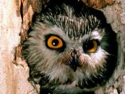 saw, whet, owl, pennsylvania, животные, совы
