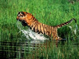 Splash, Bengal Tiger обои для рабочего стола 1600x1200 splash, bengal, tiger, животные, тигры
