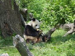 обои для рабочего стола 1600x1200 животные, панды