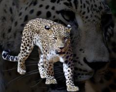 животные, леопарды