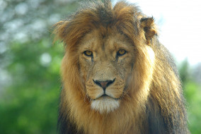 обои для рабочего стола 3872x2592 животные, львы, лев, морда, грива