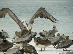 животные, пеликаны