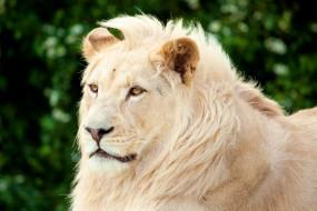 обои для рабочего стола 1920x1280 животные, львы, чёлка, морда, белый, лев, грива