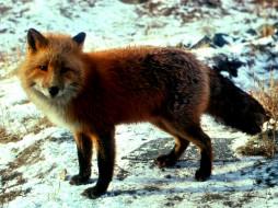 foxy, животные, лисы
