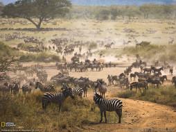 животные, зебры