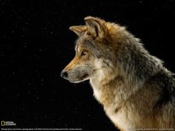 животные, волки, смотрит, волк, серый
