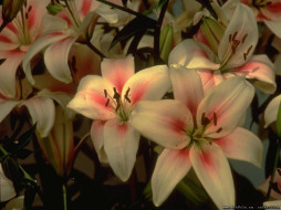 цветы, лилии, лилейники