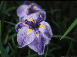 цветы, ирисы