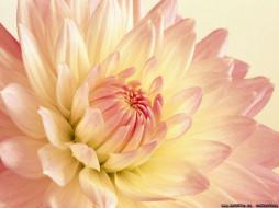 цветы, георгины
