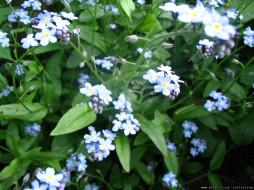 цветочки, цветы, незабудки