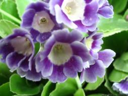цветы, примулы