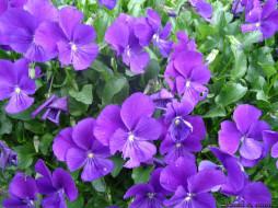 цветы, анютины, глазки, садовые, фиалки