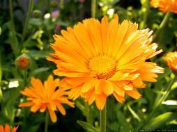 цветы, календула