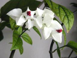 цветы, клеродендрумы
