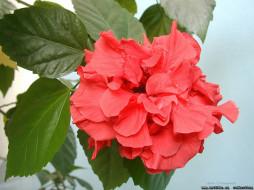 цветы, гибискусы