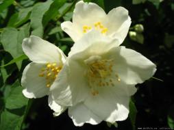 цветы, жасмин
