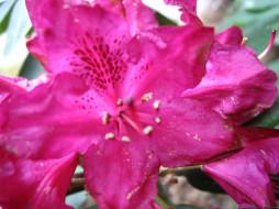 цветы, рододендроны, азалии